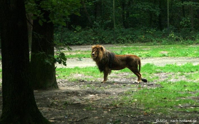 Löwe im Burgers' Zoo