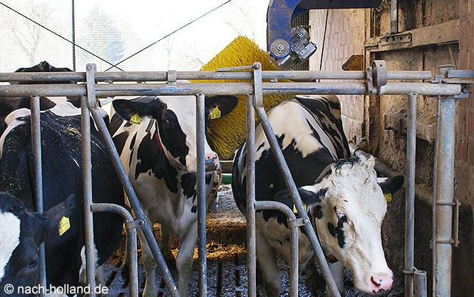Kühe bei der Bürstenmassage im Kuh-Spa