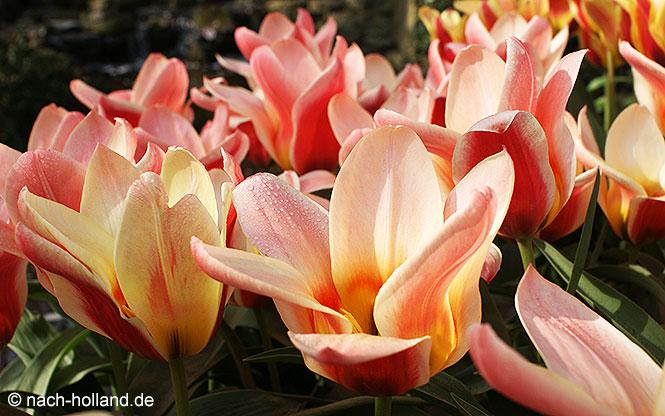 keukenhof tulpe rosa