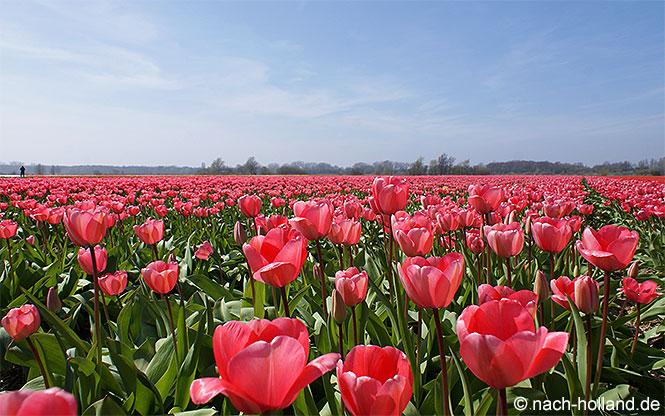 keukenhof tulpenfelder