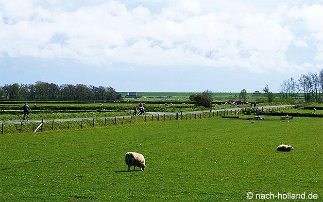 Radfahrer und Schafe - typisch auf Texel