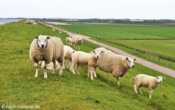 Unzählige Schafe auf Texel