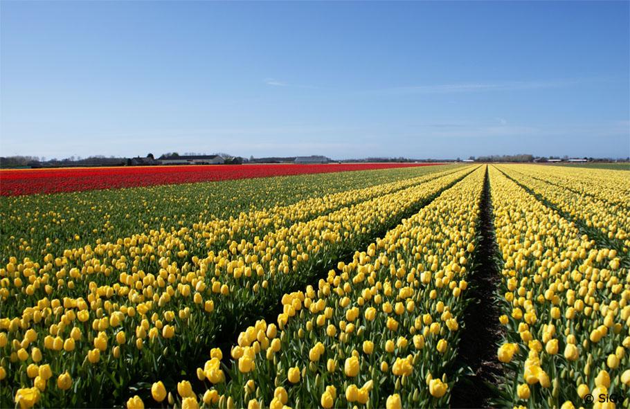 tulpenfelder in holland