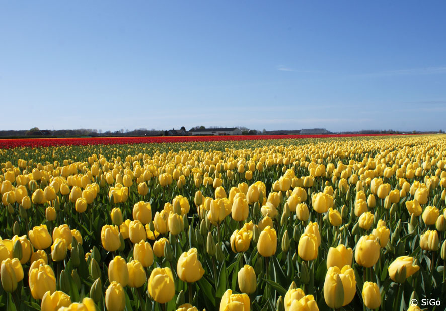 Tulpenfelder in Holland