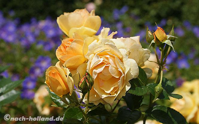 kasteeltuinen gelbe rosen