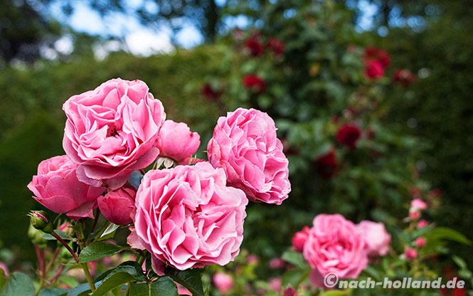 kasteeltuinen rosa rosen
