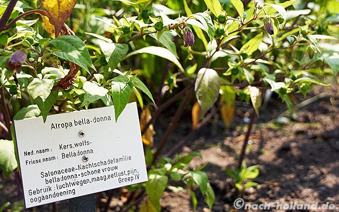 Friesland belladonna