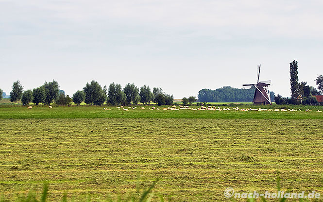Friesland schafe