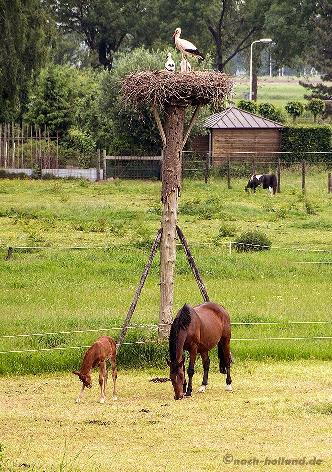 hanseroute störche und pferde