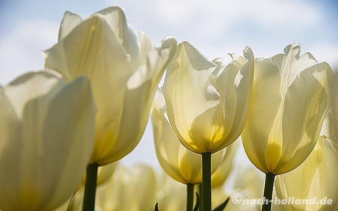 lekker radeln, tulpen