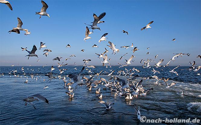 muscheln zeeland moewen