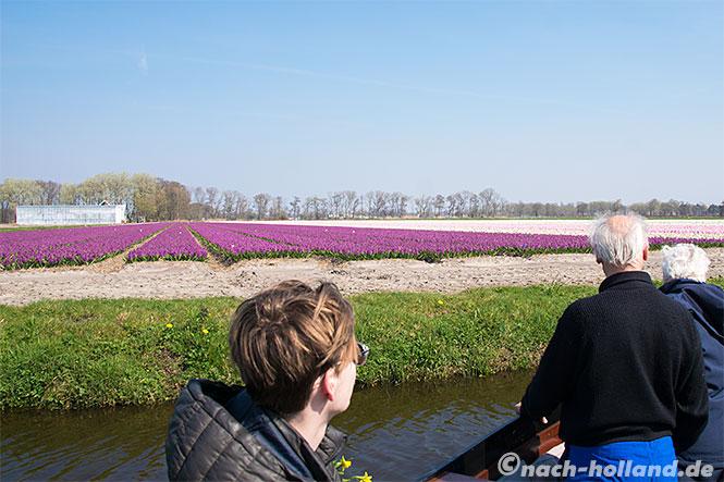 noordwijk lila hyazinthen