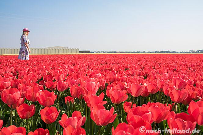 noordwijk rote tulpen