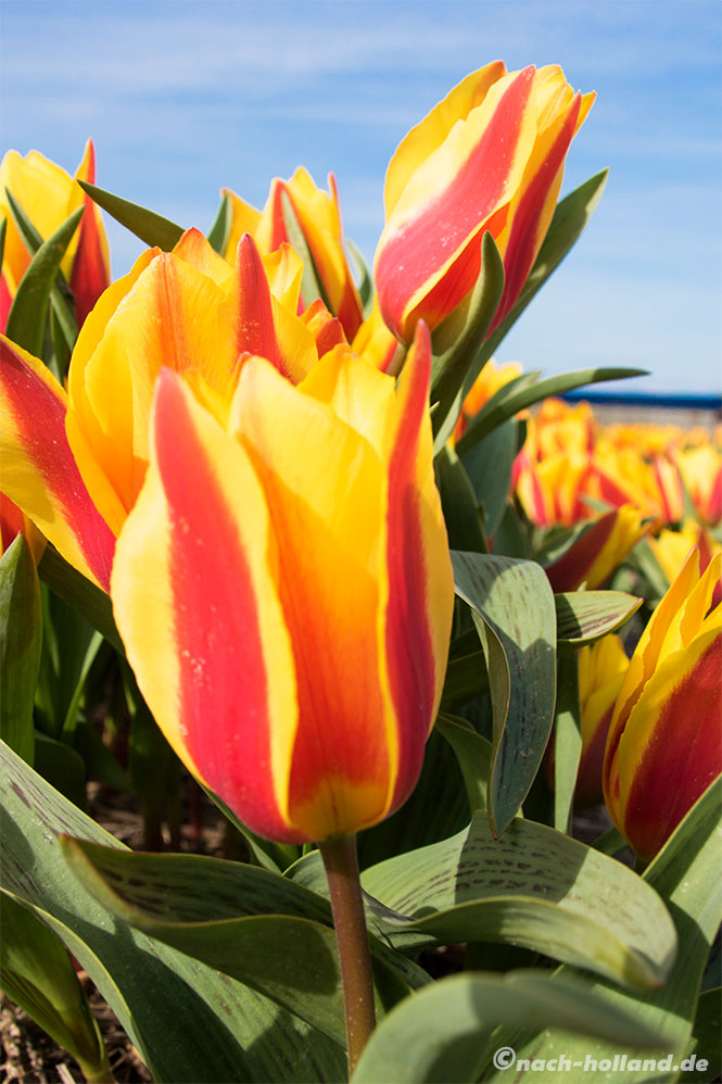 noordwijk tulpe
