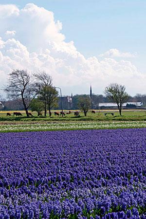 hyazinthenfeld holland