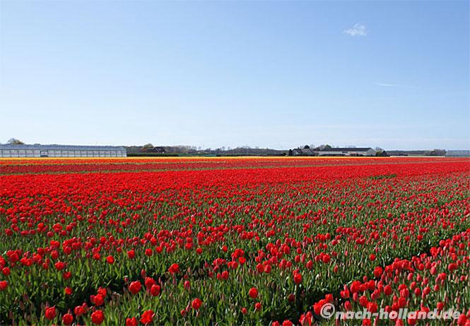 blühendes tulpenfeld im bollenstreek