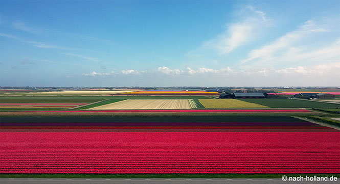 fabenfrohe blühende tulpenfelder in nordholland