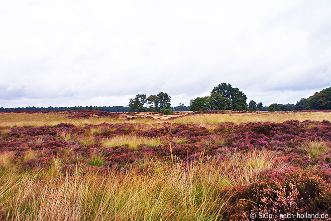 Blühende Heide im Nationalpark Hoge Veluwe